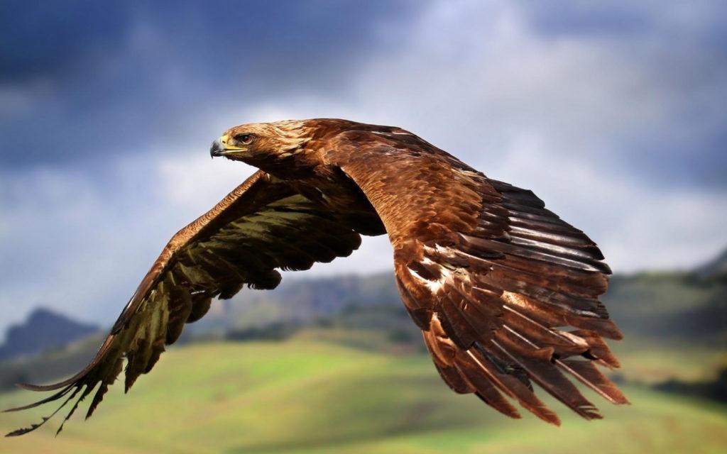 Самый большой размах крыльев у орлов